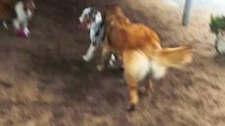 レオンベルガーのモナちゃんとオーストラリアンシェパードのマゴの戦い...