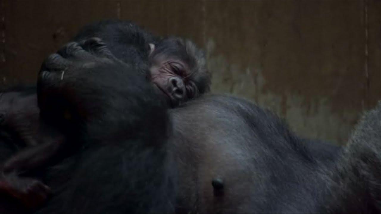 Strabiliante parto di una gorilla al Washington National Zoo