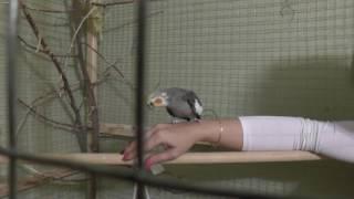 Приручение попугаев день за днем № 2  хитрость в интересной игрушке