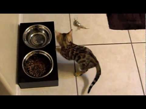 Bengal kitten's first day in a new home