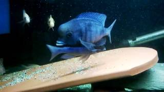 Голубой Дельфин (Cyrtocara moorii)(, 2016-05-22T11:10:09.000Z)