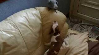 African Grey V`s Staffordshire Bull Puppy... Round 1