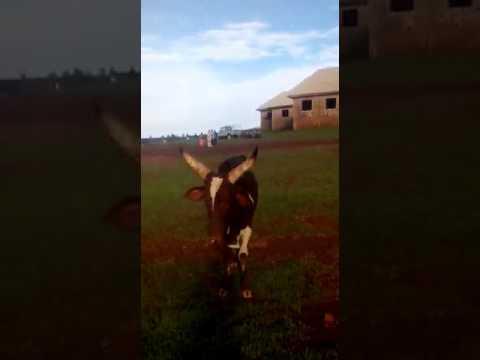 Fulani killing  in mambila  platur