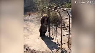 Медведь-пищухоед пустился в пляс в честь теплой погоды