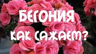 Посадка клубневой бегонии многолетней(Клубневая бегония – любимый цветок многих женщин, которые любят заниматься цветоводством в домашних услов..., 2015-04-12T17:12:40.000Z)