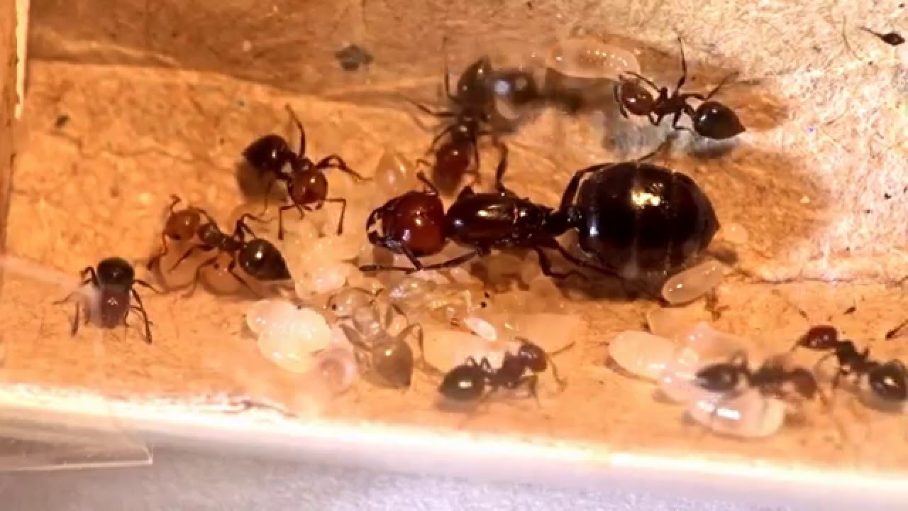 Crematogaster scutellaris (Queen is laying an egg) - YouTube Queen Ant Laying Eggs