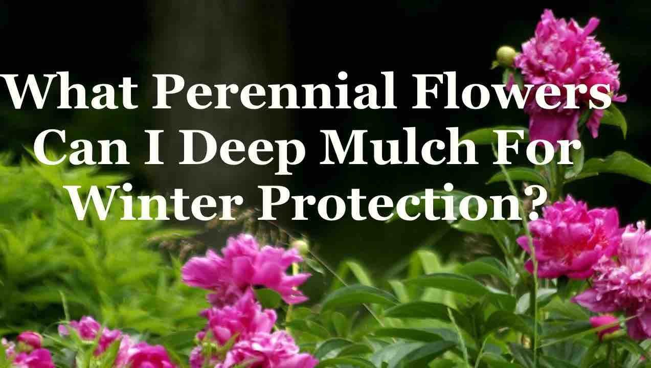 What perennial flowers can i deep mulch for winter protection youtube what perennial flowers can i deep mulch for winter protection mightylinksfo