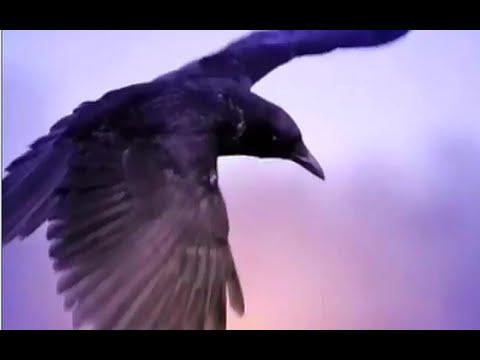 Вороны - документальный фильм