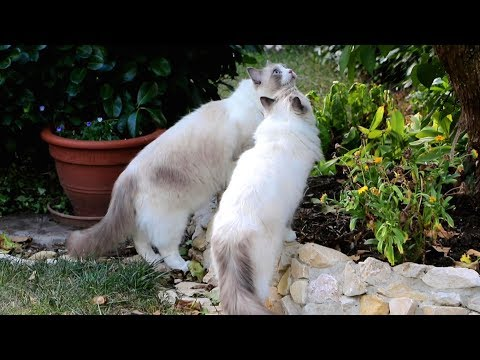 Ragdoll cats walking free (in the garden)