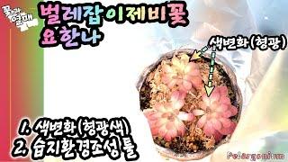 (식충식물#04)_4K_벌레잡이제비꽃,요한나1.색변화(…