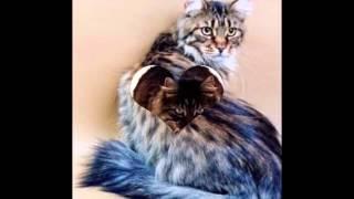 МЕЙН-КУН самые большие кошки в мире