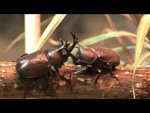 Image result for beetle fighting