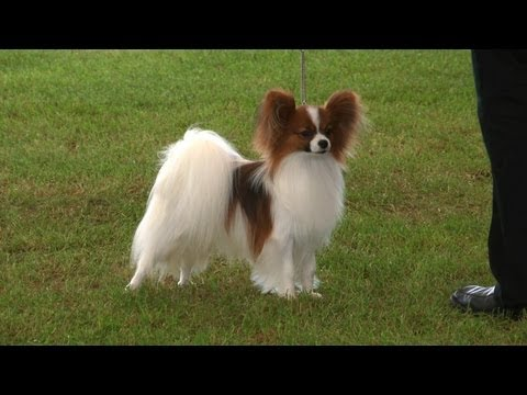 Southern Counties Championship Dog Show 2013 - Toy group