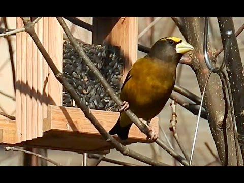Evening Grosbeak - call