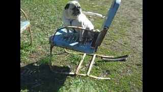 Adopt Oliver! 9yr Old Pug Rescue Of New England Prone Foster Pug