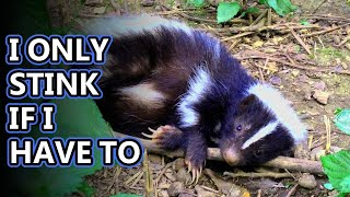 Skunk facts: not always stinky! | Animal Fact Files