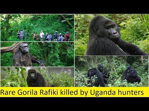 Rare Gorila Rafiki killed by Uganda hunters - YouTube