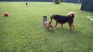 Black Labrador Retriever, Golden Retriever Mix & Basset Hound Mix Play In Rummy's Private Dog Park