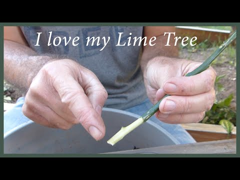 Growing Citrus From Cuttings: How To Keep A Tree You Love