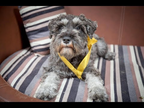 Nelly - Miniature Schnauzer Puppy - 2 Weeks Residential Dog Training
