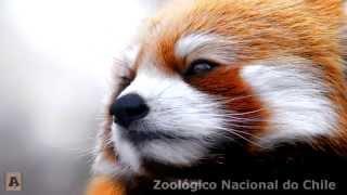 Panda Vermelho (Panda rojo) - Zoológico Nacional do Chile
