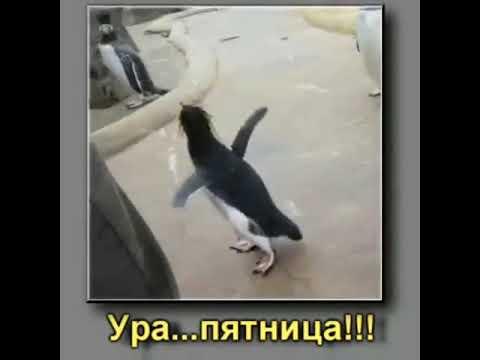 Гифка с пингвином про пятницу учитывать то