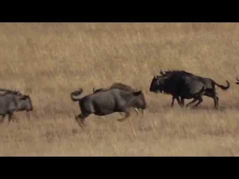 Impact Shots GTA Safaris. Gateway To Africa Safaris