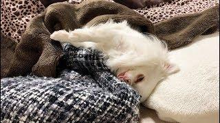 今にも零れ落ちそうな格好で寝ているコハク ぐうたらすぎる チャンネル...