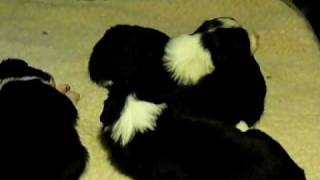 two weeks old working sheepdog pup, Austrian FCI and ISDS-kennel Li...