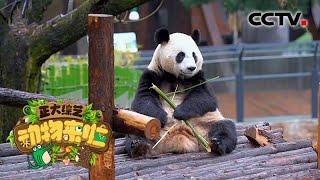 [正大综艺·动物来啦]大熊猫吃竹子不会割伤自己的内脏是为什么| CCTV