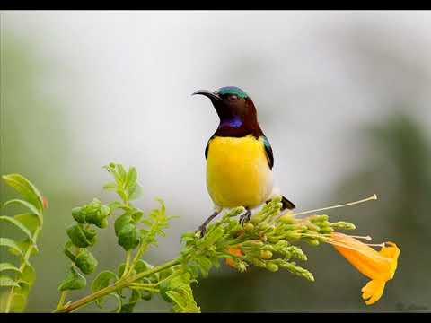 Pikat Kolibri