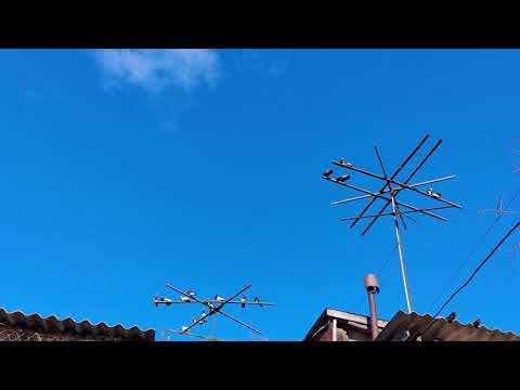 Разминаем крылья,26.01.20,Курские голуби