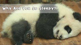 Did Panda Go Stealing Bamboo Last Night? Why Are You So Sleepy? | iPanda