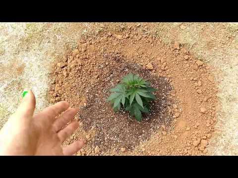 How I grow outdoor cannabis Ep. 1