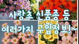 사랑초 신품종등 구입정보!~Oxalis  Obtusa