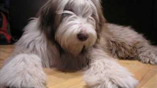 logan_the bearded collie