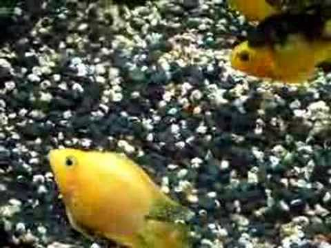 Puesta de peces loro youtube for Modelos de estanques para peces
