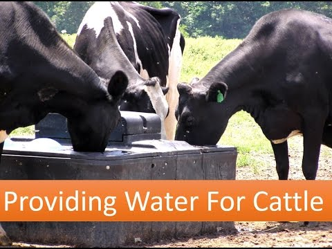 Providing Water For Cattle