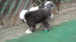 7ヶ月のムックちゃん、アルバより足が長いよ~ 楽しそうに遊ぶおふたり...