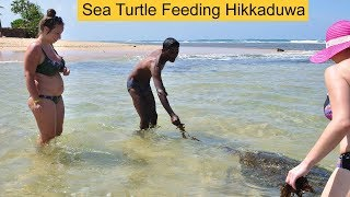 Sea Turtle Feeding Hikkaduwa Sri Lanka