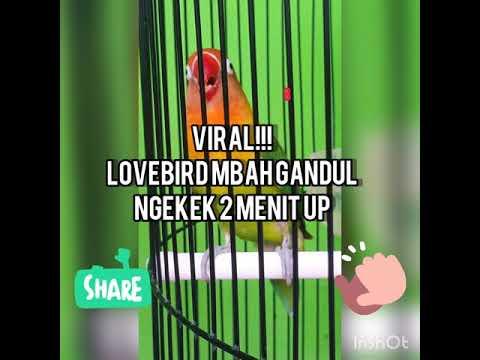 Viral !!! Lovebird Fighter Mbah Gandul Ngekek 2 Menit Up