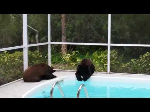 3 bears wrestle on pool deck. Naples, FL
