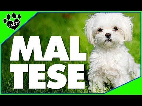 Maltese Dogs 101 Most Popular Dog Breeds - Animal Facts