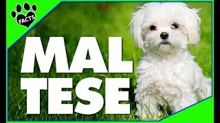 Maltese Dogs 101 Fun and Interesting Facts about the #maltese #Dog