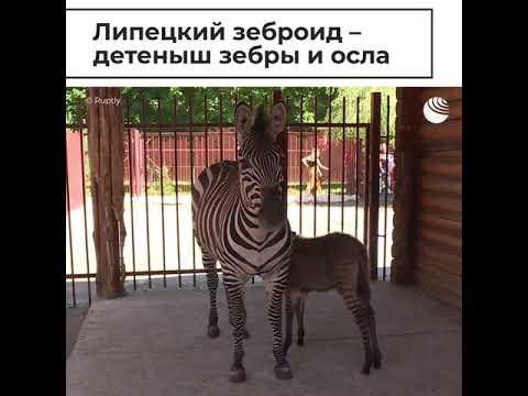 Липецкий зеброид - детеныш зебры и осла