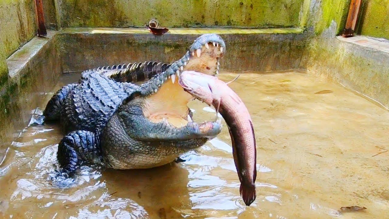 Giấc mộng cá sấu đuổi tốt hay xấu?