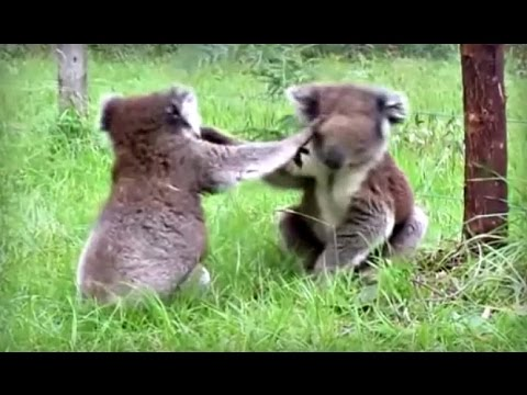 Koalas fighting and making funny noises