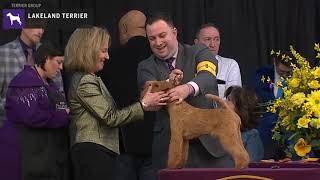 Lakeland Terriers | Breed Judging 2020
