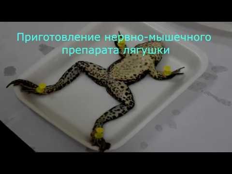 Вопрос: Как препарировать лягушку?