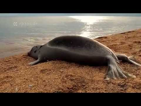 Cute Baikal Seal Nerpa Funeral